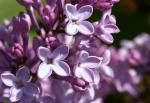 Moms Lilac Close Up